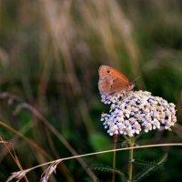 Бабочка :: Татьяна Костенко (Tatka271)
