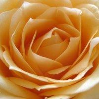 кремовая роза :: Марина Голуб