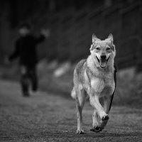 Сколько волка не корми.. :: Игорь Зайцев