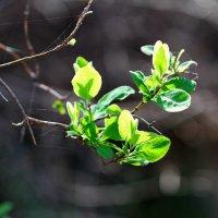 молодая зелень, весна . :: valeriy g_g