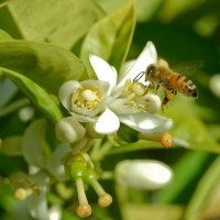 Пчела на цветке лимона. :: Sergei Merkulov