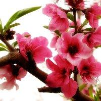 Цветок персика :: Sergei Merkulov