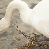 Лебедь :: Наталья Мельникова