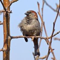 Славный птах... :: Вадим Коржов