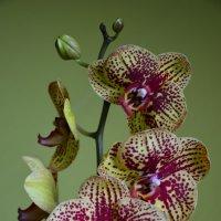 Орхидея :: Александр Вайновский
