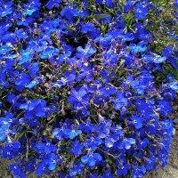 Лобелия - цветок Урана! :: Наталия Павлова