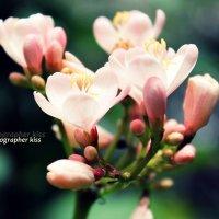 Цветы Таиланда :: Александра Ивасенко