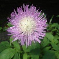 Цветок :: Виктория Олейник