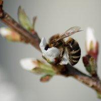 Пчелка. :: Казимир Буйвис