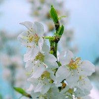 абрикос цветет :: ольга хадыкина