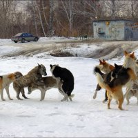 Весенняя Собачья Свадьба :: Андрей Пашис