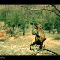 обезьян :: йогеш кумар