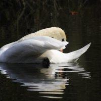 Лебедь :: Вячеслав Герасимчук