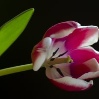 Тюльпан :: Марина Павлова