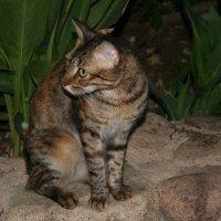 Египетская кошка :: Ирина Палий