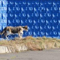 Трехцветная кошка у синей стены :: Елена Перевозникова
