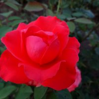 Роза августа... :: Тамара (st.tamara)