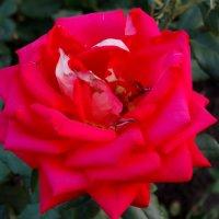 Роза августа...2 :: Тамара (st.tamara)