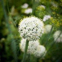лук в цвету :: Астарта Драгнил