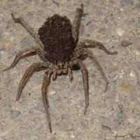 Самка паука-волка с младенцами на спине. :: ~ Елена М ~