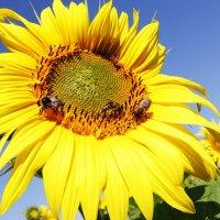 Пчелы за работой ! :: Damir Si