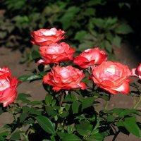 """Чайно-гибридная роза """"Ностальжи"""" :: super-krokus.tur ( Наталья )"""