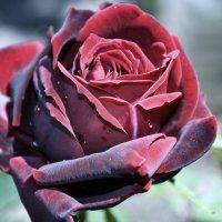роза :: Анастасия .
