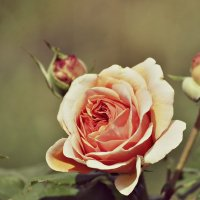 Роза :: Yurii Skripov