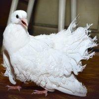 Королевский белый павлин :: Евгений Стрелков