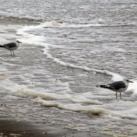 Белое море. Шторм. Чайки :: Владимир Шибинский