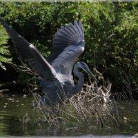 Цапля Голубая - Blue Heron_3 :: Яков Геллер