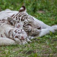 Бенгальские тигры :: Владимир Габов