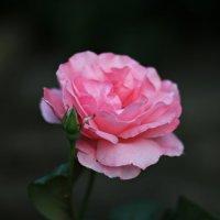 Роза :: Виктория Данильченко