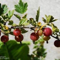 ягоды :: Геннадий Чуган