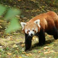 Панда на прогулке :: Alexander
