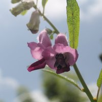 Пчела на цветке Индия. :: maikl falkon