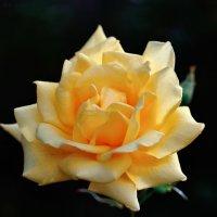 Из серии российские розы :: Виктор Берёзкин