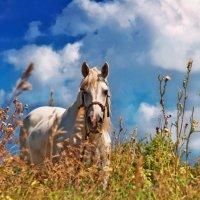Лето. Лошадь. Облака... :: Наталья Костенко
