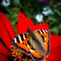 Бабочка :: Елизавета Егорова