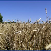 Урожай :: Андрей Заломленков