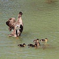 Заботливая мама-утка :: leoligra