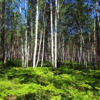 Молодой лес :: Александр Попов