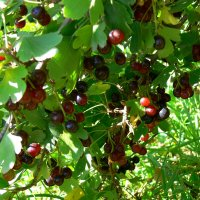 Ягода йошта - гибрид смородины :: aleks