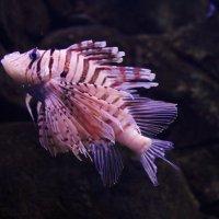 Интересная рыба :: Olga Photo