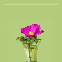 Цветок шиповника на зелёном фоне :: Виталий
