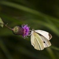 Бабочка на осоте :: Анатолий Иргл