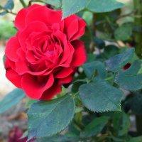 Нас розы нежный аромат.... :: Наталья Полочанка