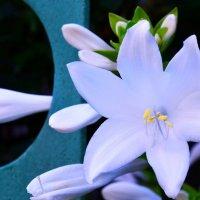 белый цветок :: Светлана Прокопенко