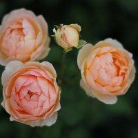 Roses :: Anna Stepanyuk