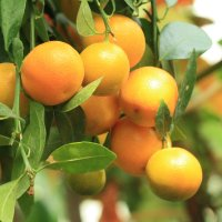 в Лимонарии :: mirtine